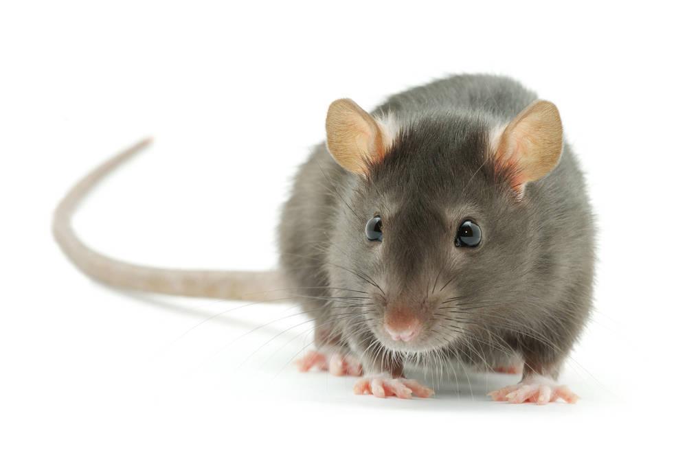En Canarias habitaron ratas gigantes